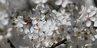 Pavasaris jau zied.