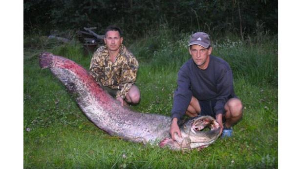 29.jūlijā divi makšķernieki no Ventspils Daugavā noķēruši milzu samu.\r\nNoķertais sams ir 2,2 metrus garš un 72 kilogramus smags.