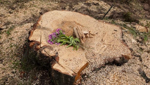 Katoļu baznīca Ikšķilē bez atļujas izcērt kokus
