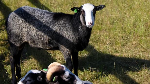 Turbas  par savām jaunajām mājvietām sauc 13 aitas. 7 Mājas Aitas un 6  Romānovas šķirnes aitas.