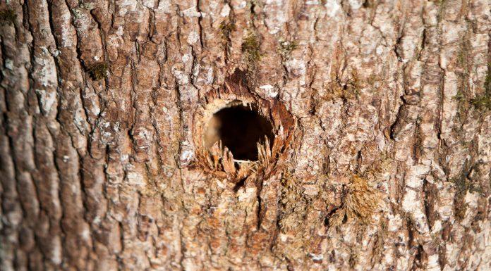 Daugavas prospekts, Ikšķile. Urbums koka stumbrā, kurā ielietas nezināmas ķimikālijas.