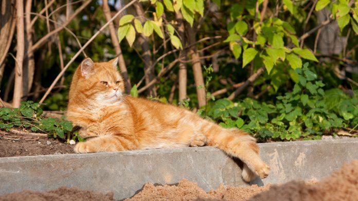 Britu īsspalvainais kaķis. Pazudis Ozolu ielā, Ikšķile.