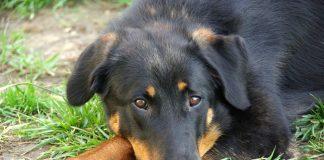 Beaucerons. Foto: dogbreedlist.org
