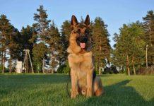 """Ikšķilē pazudis 2 gadus vecs vācu aitu suns vārdā """"Zagors"""""""