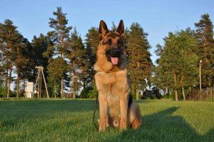 Ikšķilē pazudis 2 gadus vecs vācu aitu suns vārdā