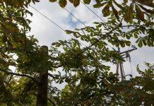 Kastaņkokam nozāģēta galotne, koks neatrodas tieši zem elektro sadales līnijas. Kastaņkoki pie Ikšķiles Vidusskolas