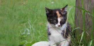 Pazudis kaķēns 11.10.2016 rajonā starp Ikšķili un Tīnūžiem, ~ 4 mēn. vecs. Raibs, rūsgans labās auss galiņš. Atradējam atlīdzība.